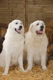 Two Pyrenean Mountain Dog sitting side by side at hay - HTF000093