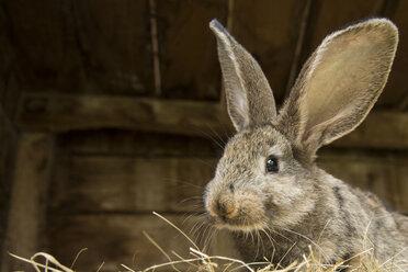 Germany, Brandenburg,  Rabbit, close up - NG000026