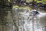 Germany, Bavaria, White Stork in water - STB000036