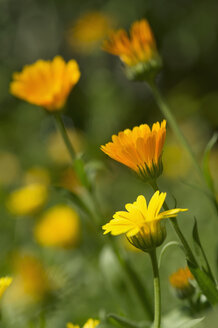 Germany, Bavaria, Marigold (Calendula officinalis) - CRF002475
