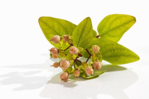 St.John's Wort (Hypericum perforatum) with blossom and fruit - CSF019884