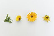 Pot Marigold (Calendula officinalis), medical plant, studio shot - CRF002491