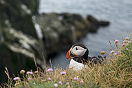 Island, Latrabjarg, puffin (Fratercula arctica) - HL000233