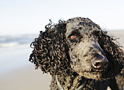 Germany, Lower Saxony, East Frisia, Langeoog, portrait of a poodle at the beach - JATF000338