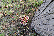 Germany, Rhineland-Palatinate, wooden box with apples under a tree - PA000018
