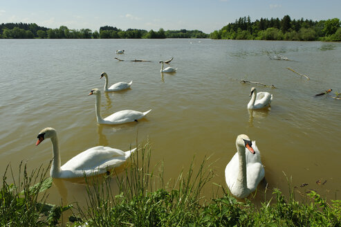 Germany, Bavaria, swans at the Frankenhofer See at the Wertach - LB000285
