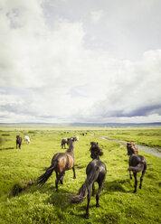 Iceland, Icelandic horses on grassland - MBEF000736