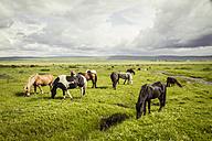 Iceland, Icelandic horses on grassland - MBEF000737