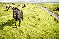 Iceland, Icelandic horses on grassland - MBEF000738