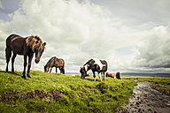 Iceland, Icelandic horses on grassland - MBEF000741