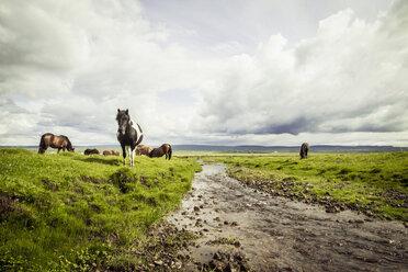 Iceland, Icelandic horses on grassland - MBEF000742