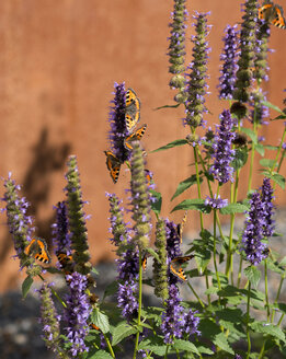 Germany, Aachen, blue fortune and small tortoiseshell butterflies - HL000236