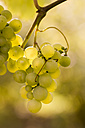 Germany, Thuringia, wine leaf with grapes - SJF000065