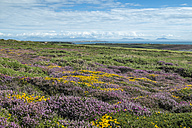 UK, Wales, Anglesey, Holy Island, blooming heath and Genista at the coast of South stack - ELF000537