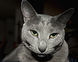 Russian Blue cat, portrait - HL000243