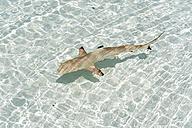 Maldives, Lhaviyani atoll, Komandoo island, blacktip reef shark in water - GNF001270