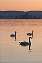 Switzerland, Lake Constance, Tiboltingen, Swans in morning light - SH000860