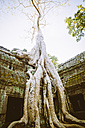 Cambodia, Siem Reap, Angkor, Angkor Wat, tremendous tree roots overgrowing part of Ta Prohm temple - MBE000785