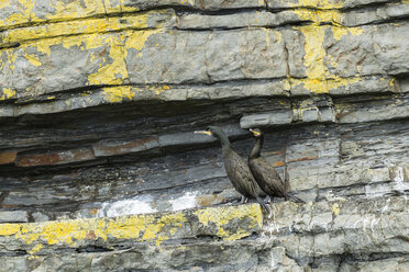 Ireland, County Clare, European shags on rock spur - SRF000367