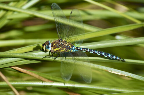 Germany, Hesse, Hunfelden, Southern hawker on grass blade - MHF000223