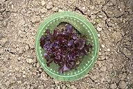 Germany, Bavaria, Schaeftlarn, salad, Lactuca sativa var. capitata, in garden - TCF003653