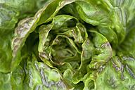 Salad, Lactuca sativa var. capitata - TCF003656