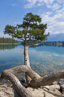 Canada, Alberta, Jasper National Park, Beauvert Lake, Tree on lakeshore - UMF000666