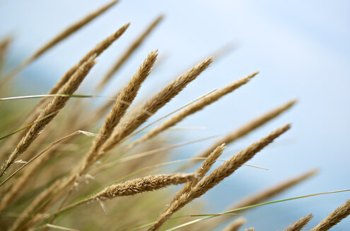 Niederlande, Zelland, beach grass (genus Ammophila) - MHF000229