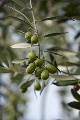Italy, Tuscany, Olives on twig - SRS000394