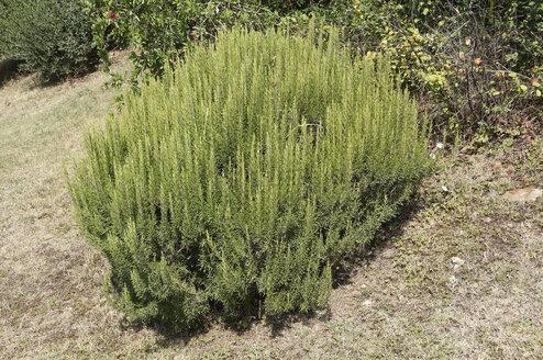 Italy, Tuscany, Rosmary bush - SRSF000395