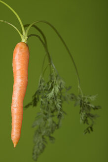 Single carrot (Daucus carota), studio shot - WSF000008