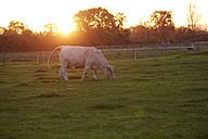 France, Burgundy, Charolais cattle on pasture near Nevers - DHL000186