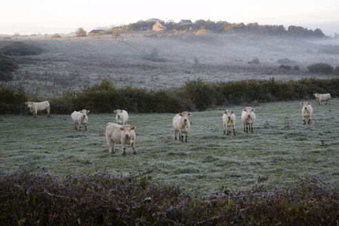 France, Burgundy, Charolais cattle on pasture near Nevers - DHL000181