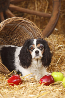 Cavalier King Charles spaniel lying at hay - HTF000128