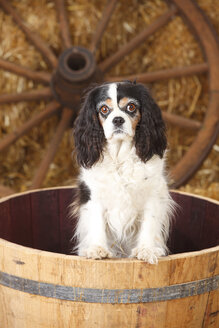 Cavalier King Charles spaniel standing in a tub - HTF000132