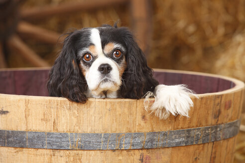Cavalier King Charles spaniel in a tub - HTF000134