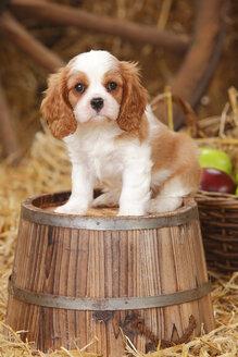 Cavalier King Charles spaniel puppy sitting on a tub - HTF000139