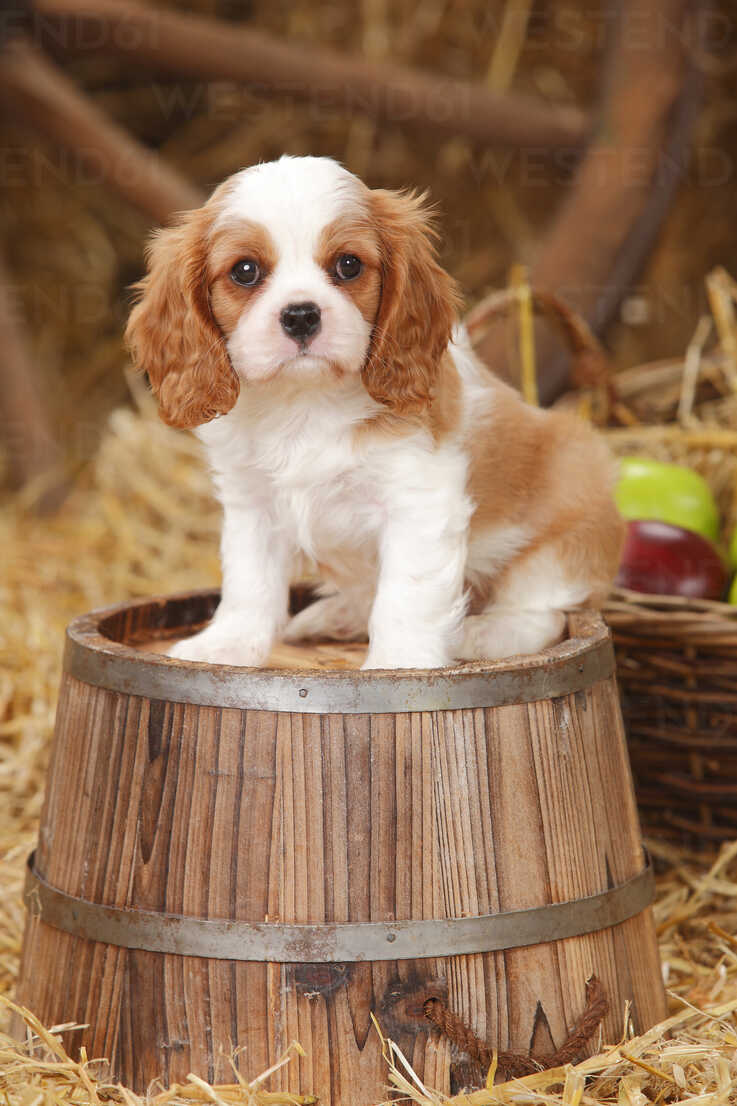 Cavalier King Charles Spaniel Puppy Sitting On A Tub Htf000139 Peewee Westend61