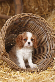 Cavalier King Charles spaniel puppy sitting in a basket - HTF000143