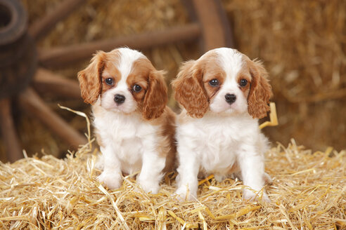 Two Cavalier King Charles spaniel puppies sitting on a bale of straw - HTF000173