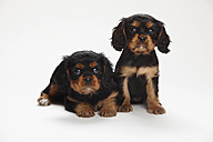 Two Cavalier King Charles spaniel puppies in front of white background - HTF000190