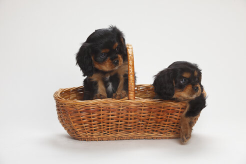 Two Cavalier King Charles spaniel puppies sitting in a basket in front of white background - HTF000179