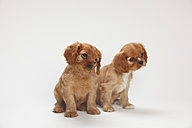 Two Cavalier King Charles spaniel puppies sitting in front of white background - HTF000157