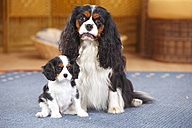 Cavalier King Charles spaniel with puppy on a carpet - HTF000159