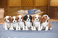 Six Cavalier King Charles spaniel puppies sitting on a carpet - HTF000167