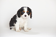 Cavalier King Charles spaniel puppy sitting in front of white background - HTF000169