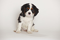 Cavalier King Charles spaniel puppy sitting in front of white background - HTF000171