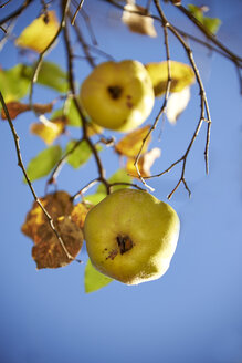 Germany, Bavaria, Quince fruit tree - SRS000400