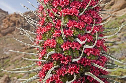 Spain, Canary Islands, Tenerife, part of Echium wildpretii at Teide National Park - UMF000669