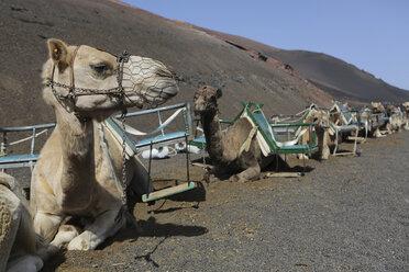 Spain, Lanzarote, Timanfaya National Park, Camaels sitting in sand - JAT000457